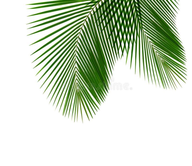 Het Blad van de kokosnoot stock foto