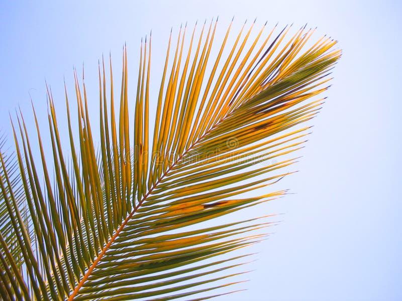 Het blad van de kokosnoot royalty-vrije stock afbeelding