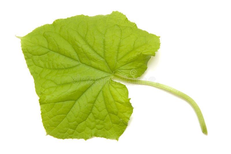 Het blad van de komkommer royalty-vrije stock afbeelding