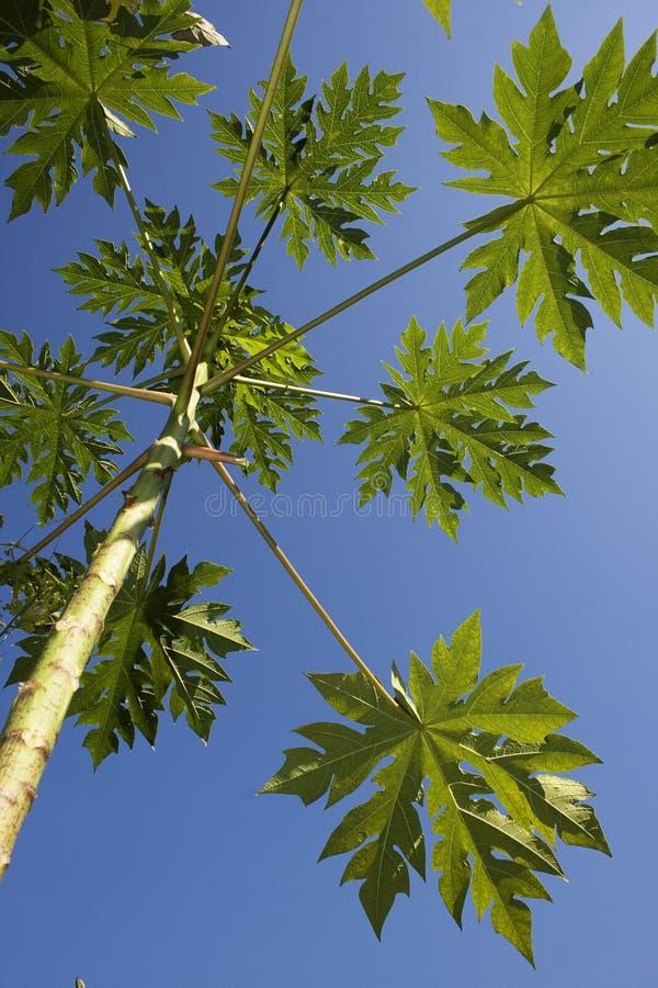 Het blad van de papaja stock afbeeldingen