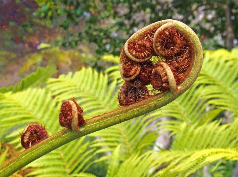 Het blad van de Unfurlingsvaren in dichte omhooggaand met complex spiraalvormig openend patroon met heldergroene achtergrond stock afbeeldingen