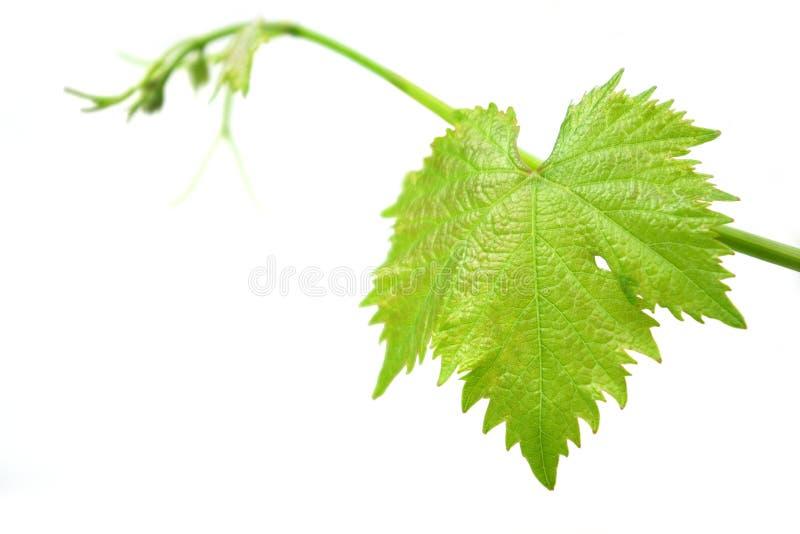 Het Blad van de wijnstok stock afbeelding