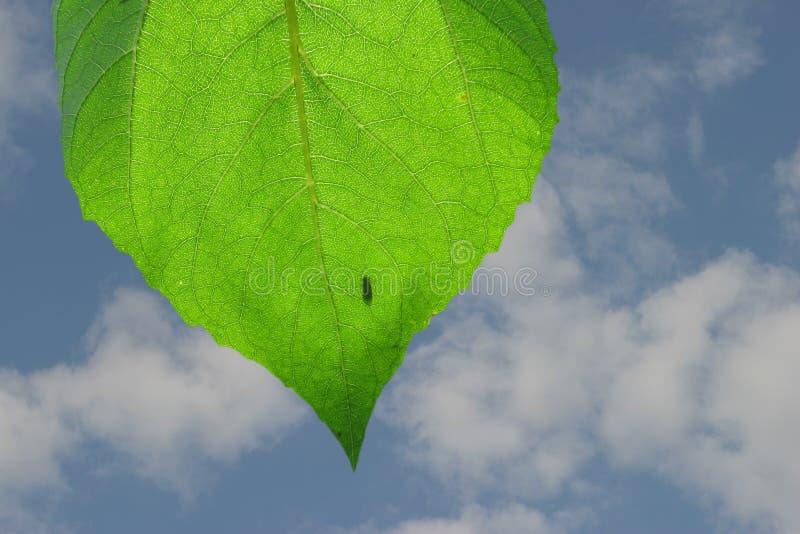 Het blad van de zonnebloem stock afbeelding
