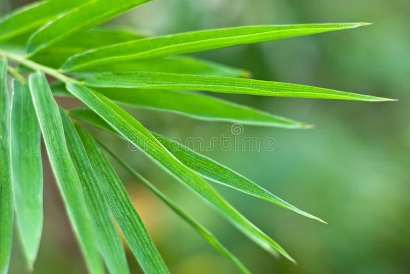 Het blad van het bamboe royalty-vrije stock foto