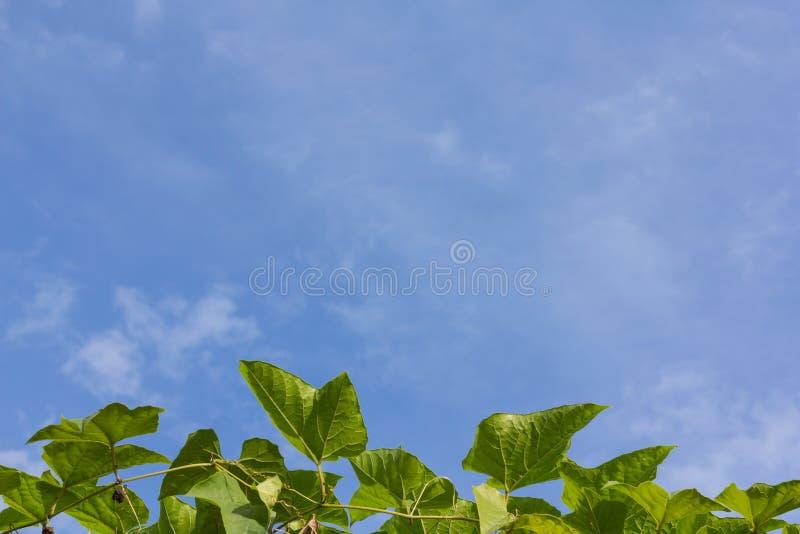 Het blad van het Gacfruit stock fotografie