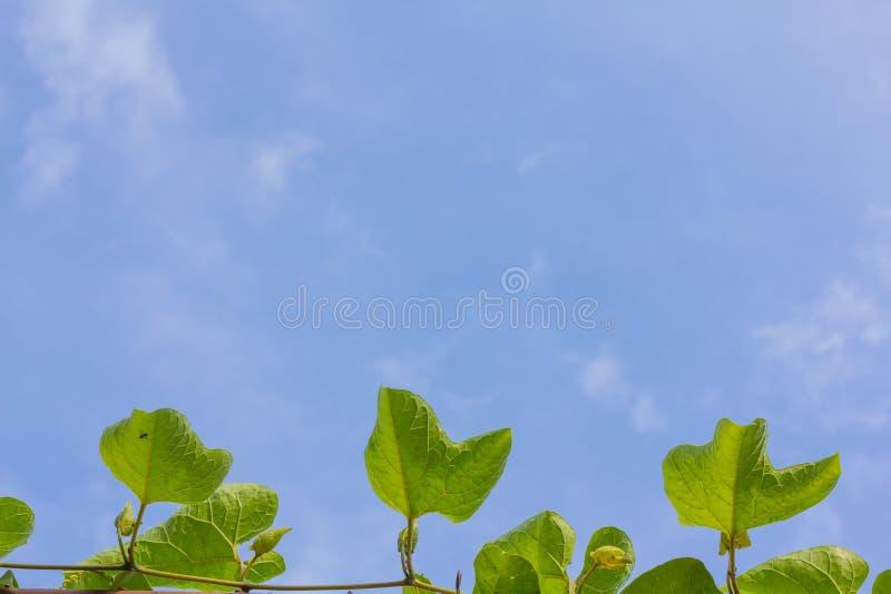 Het blad van het Gacfruit met blauwe hemelachtergrond stock foto