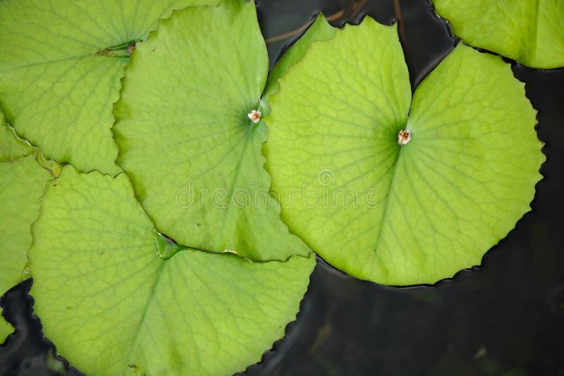 Het blad van Lotus stock foto's