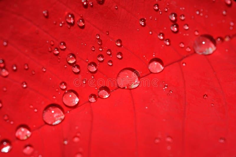 Het blad van poinsettia met waterdalingen stock fotografie
