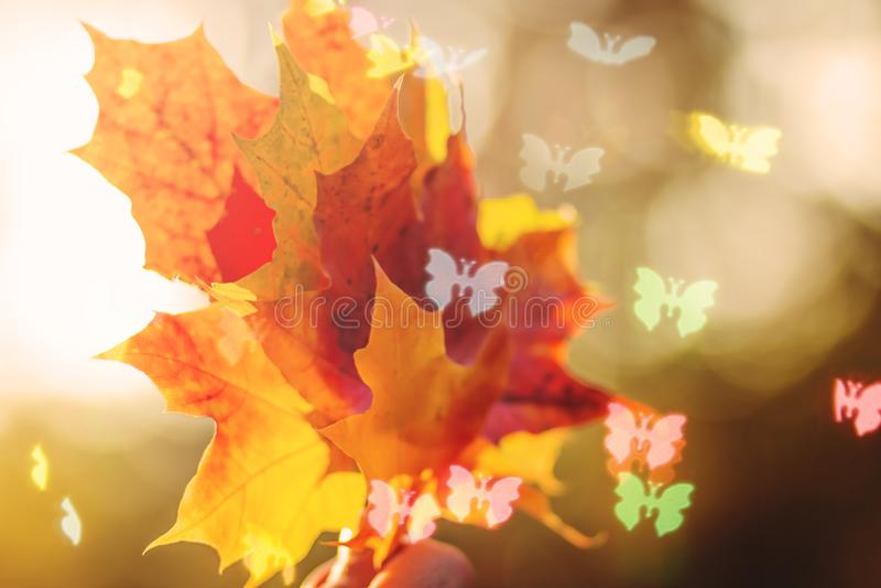 Het bladachtergrond van de herfst Heldere gele, oranje, rode, gouden kleuren van de bladeren van de Esdoorn op boomtak, backlit d stock foto