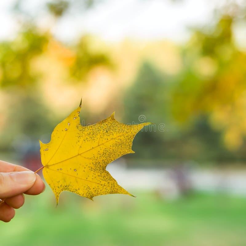 Het bladachtergrond van de herfst Heldere gele, oranje, rode, gouden kleuren van de bladeren van de Esdoorn op boomtak, backlit d royalty-vrije stock foto