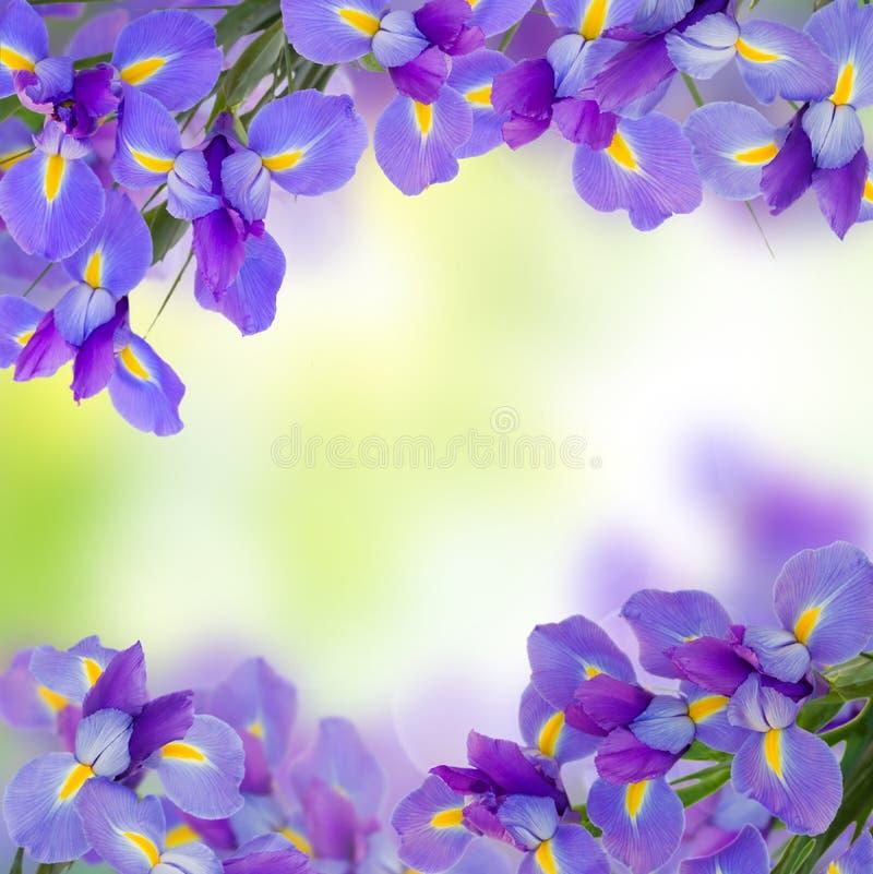 Het blauw irise bloemen dichte omhooggaand stock afbeelding