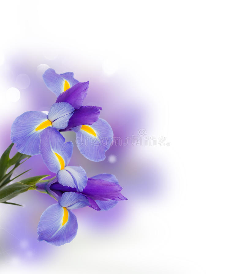 Het blauw irise bloemen dichte omhooggaand royalty-vrije stock afbeelding