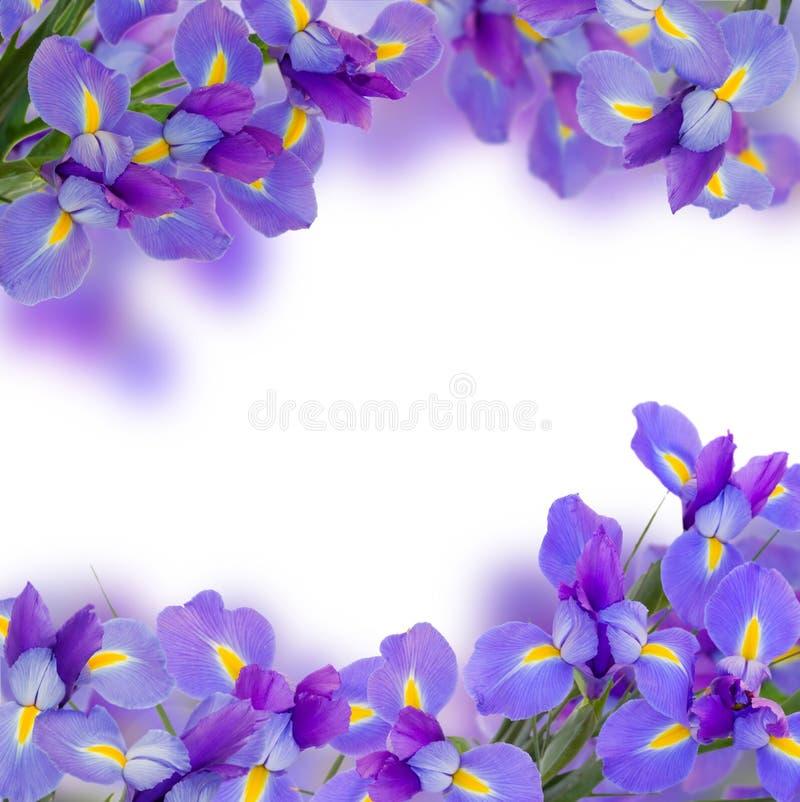 Het blauw irise bloemen dichte omhooggaand stock afbeeldingen