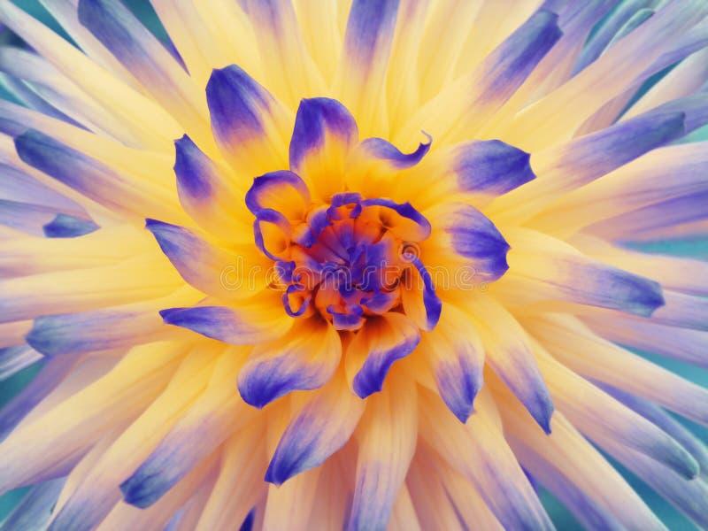 Het blauw-oranje-geel van de dahliabloem Bloemblaadjes gekleurde stralen close-up Mooie dahlia in bloei voor ontwerp stock afbeelding