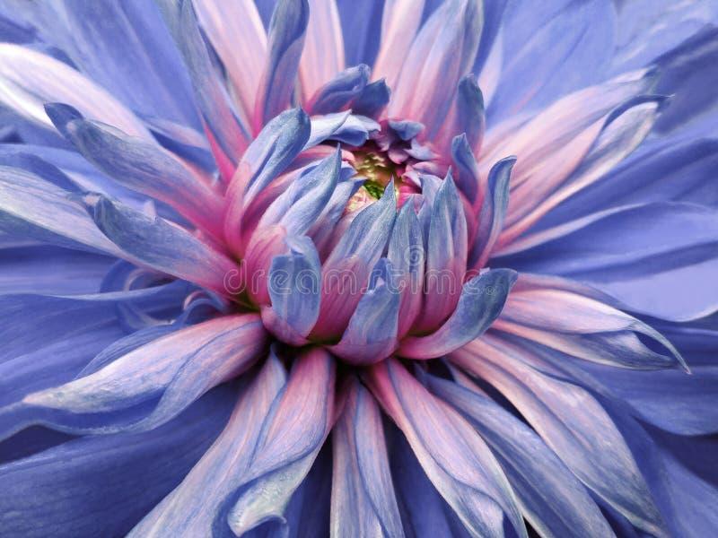 Het blauw-roze van de dahliabloem close-up mooi dahlia zijaanzicht voor ontwerp Macro stock afbeeldingen
