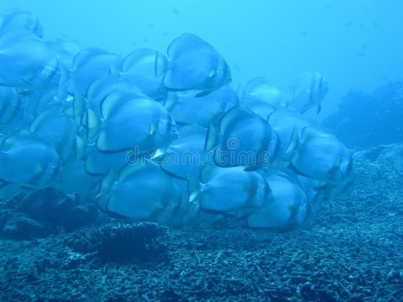 Het Blauw van Batfish royalty-vrije stock foto