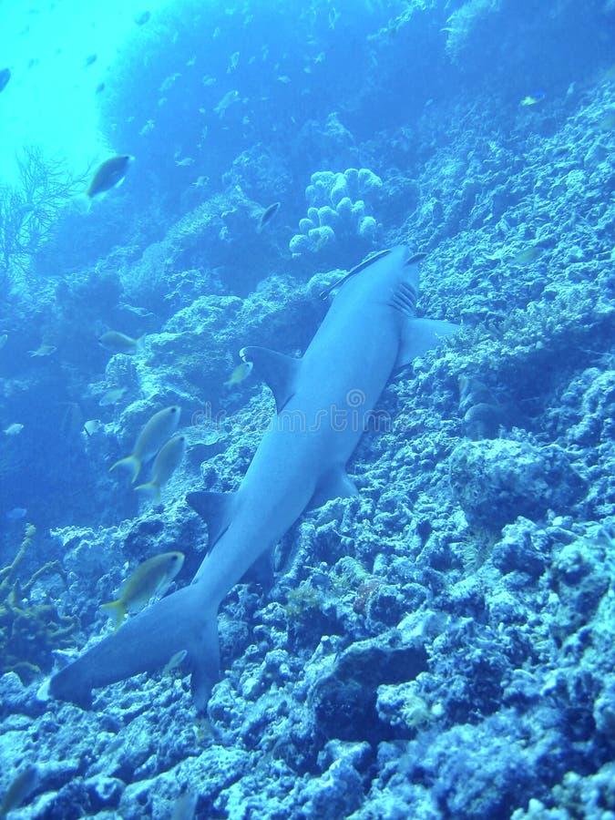 Het Blauw van de haai stock fotografie