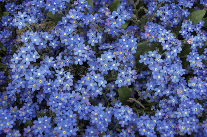 Het blauw vergeet me niet bloemen royalty-vrije stock foto