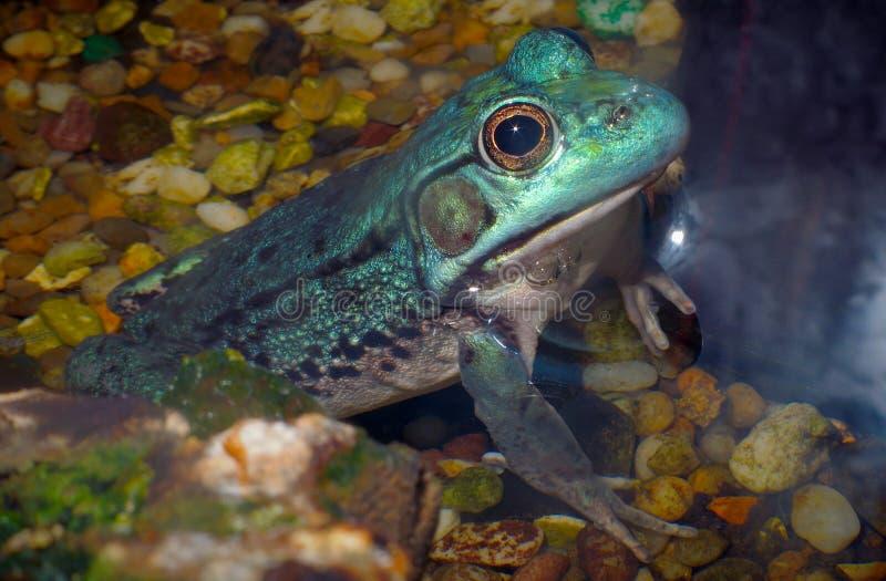 Het blauwe amfibie milieubehoud van de brulkikvorskikker royalty-vrije stock fotografie
