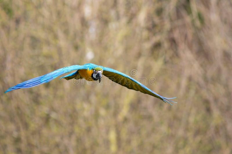 Het blauwe en Gouden Vliegen van de Ara Tropische vogel tijdens de vlucht royalty-vrije stock afbeeldingen