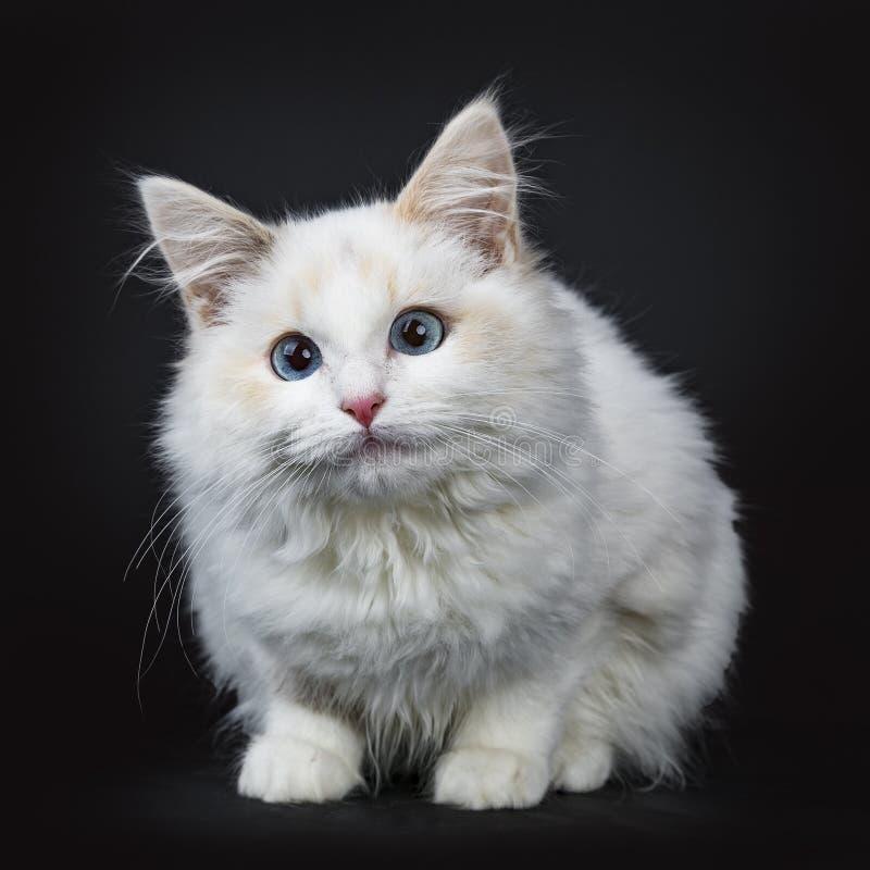 Het blauwe eyed van het ragdollkat/katje leggen geïsoleerd op zwarte achtergrond die camerawachten onder ogen zien royalty-vrije stock foto's