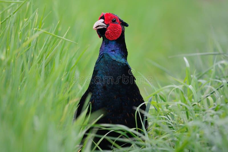 Het blauwe fazant verbergen in lang gras stock fotografie