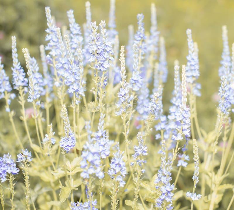 Het blauwe Gebied bloeit Close-up Ondiepe Diepte van Gebied stock foto