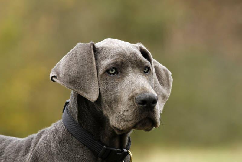 Het blauwe Grote Puppy van de Deen. royalty-vrije stock afbeelding