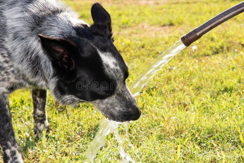 Het blauwe Heeler-hond drinken uit een waterslang royalty-vrije stock afbeelding