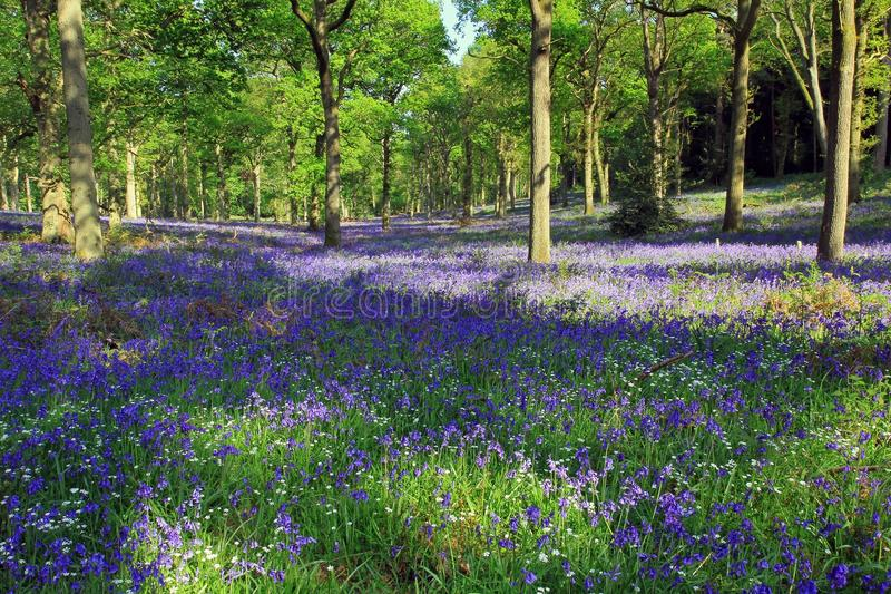 Blauw Klokhout, Badby, Northamptonshire, Engeland royalty-vrije stock afbeeldingen