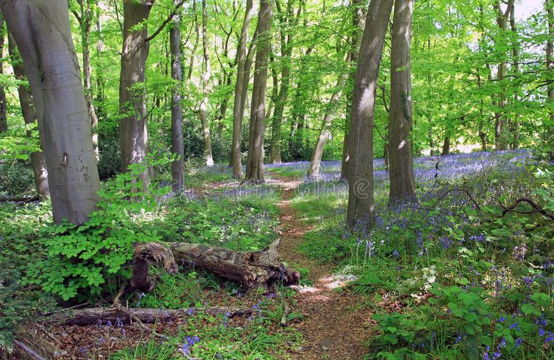 Blauw Klokhout, Cawston, Warwickshire, Engeland royalty-vrije stock fotografie