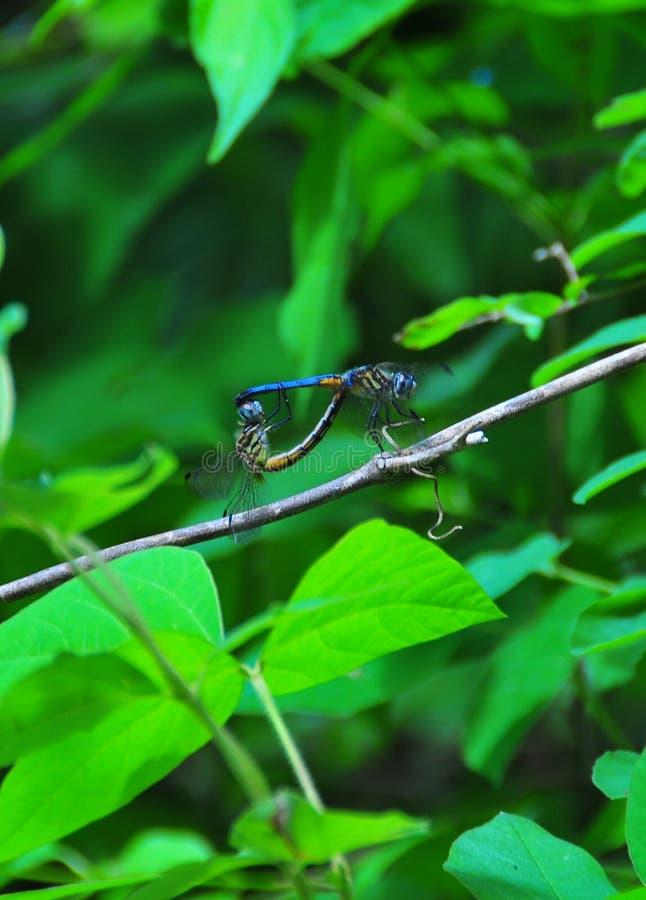 Het blauwe Libellen Koppelen royalty-vrije stock foto's