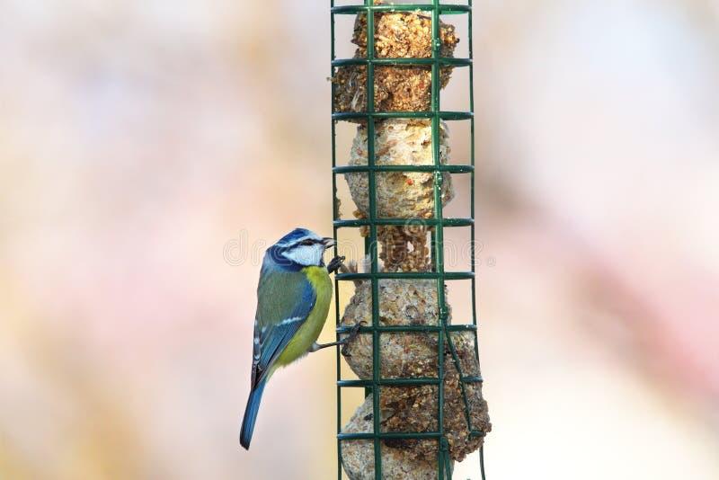 Het blauwe mees hangen op reuzelvoeder stock foto