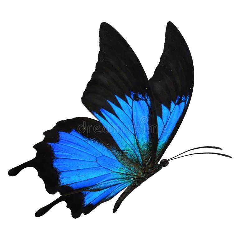 Het blauwe vlinder vliegen stock foto