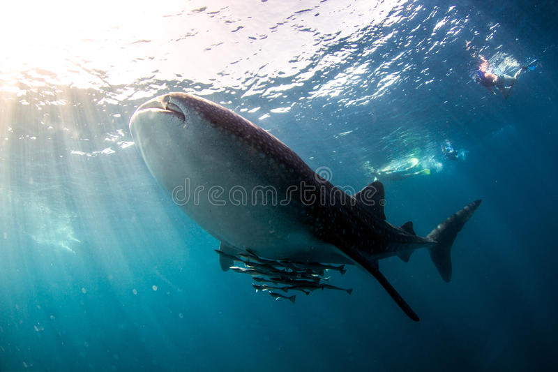 Het Blauwe water van de walvishaai stock foto's