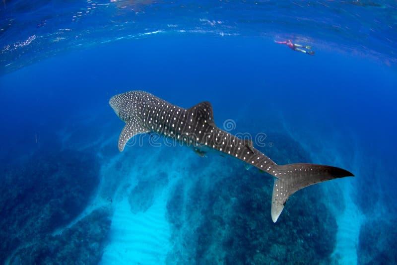 Het Blauwe water van de walvishaai stock afbeeldingen
