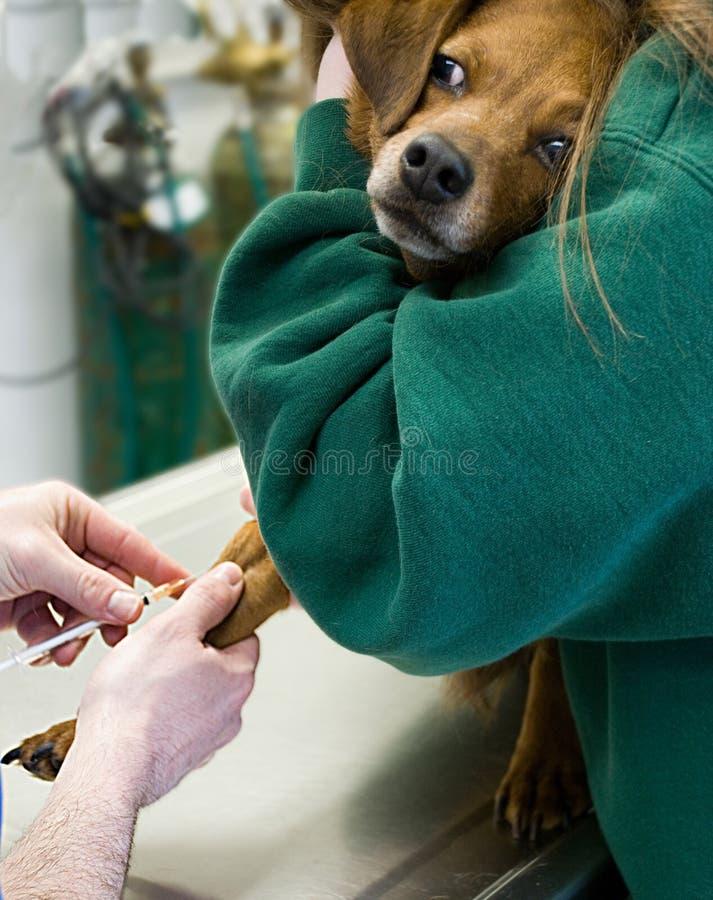 Het Bloed van de hond dat bij Dierenarts wordt getrokken stock fotografie