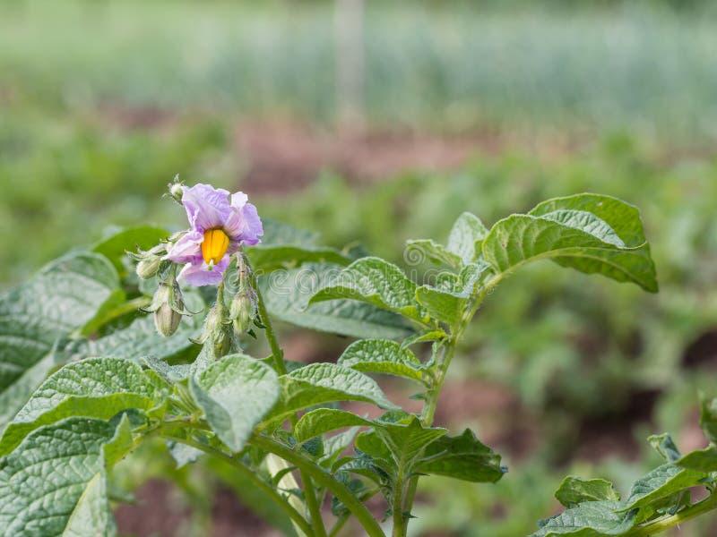 Het bloeien aardappelplant het groeien op het gebied royalty-vrije stock fotografie