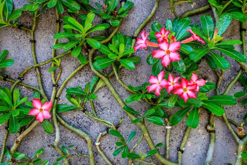 Het bloeien Adenium Obesum of Woestijn nam op de muur, Nusa, Lembongan, Indonesië toe royalty-vrije stock fotografie