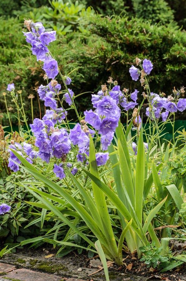 Het bloeien blauwe bellflowers in tuin, Letland royalty-vrije stock foto
