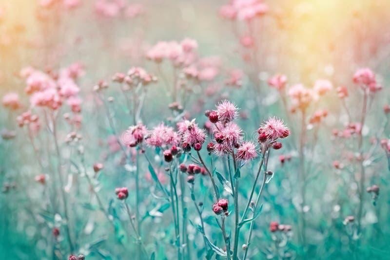 Het bloeien, bloeiende distel - klis in weide stock afbeelding
