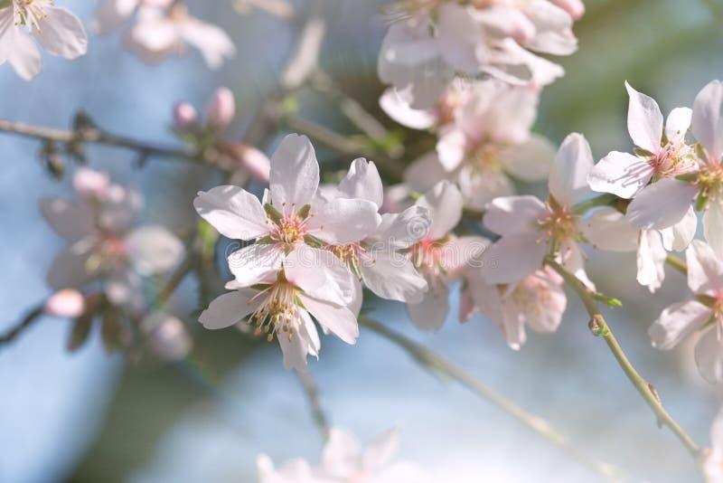 Het bloeien - Bloeiende fruitboom royalty-vrije stock afbeeldingen