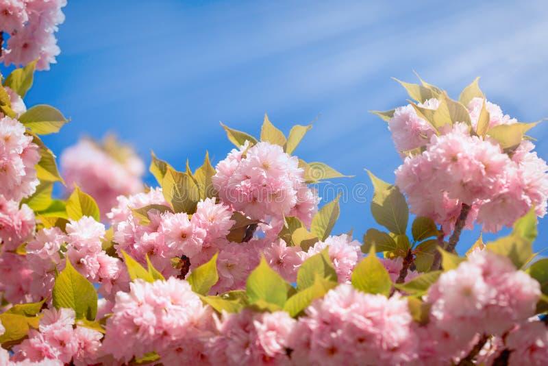 Het bloeien - bloeiende Japanse kersenboom en blauwe hemel mooie aard in de lente stock foto's