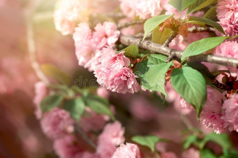 Het bloeien, bloeiende kersentak, het mooie verminderen in de lente royalty-vrije stock foto's