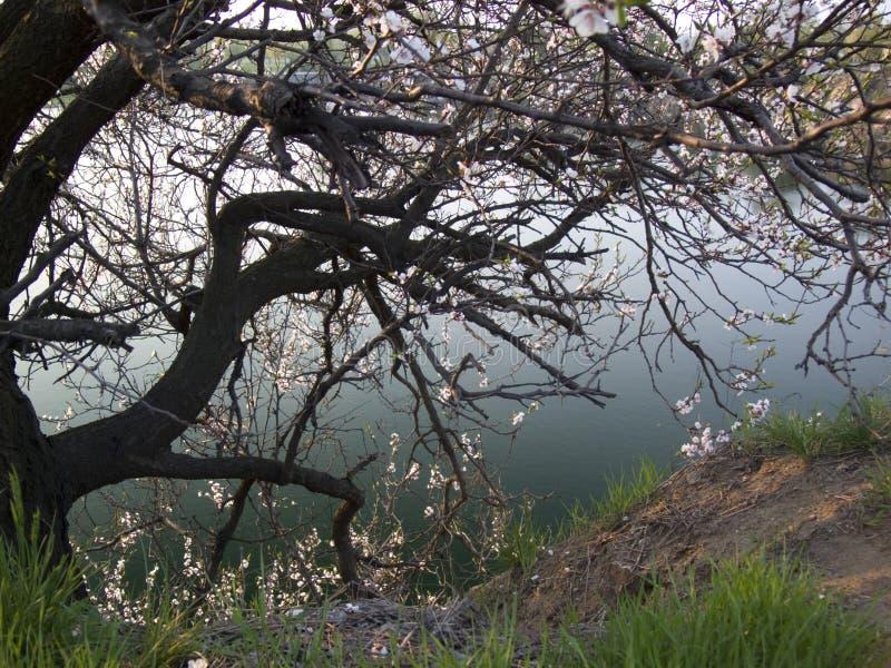 Het bloeien cerise boom royalty-vrije stock afbeelding