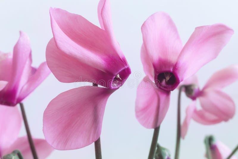 Download Het Bloeien Cyclaam Met Bloemen En Groene Bladeren Stock Foto - Afbeelding bestaande uit groen, roze: 114228328