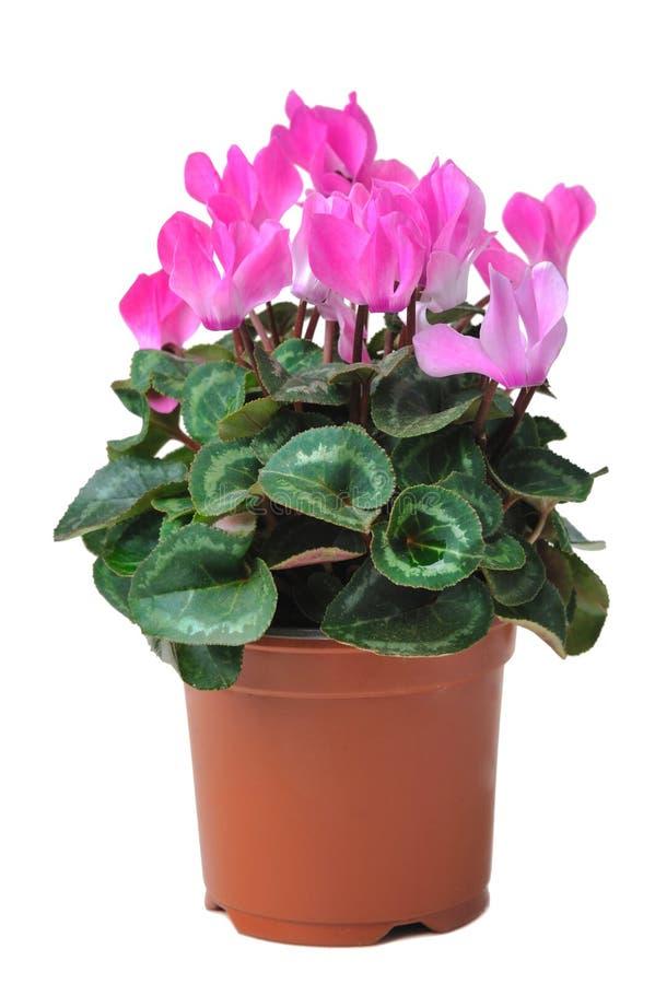 Het bloeien cyclaam in pot royalty-vrije stock fotografie