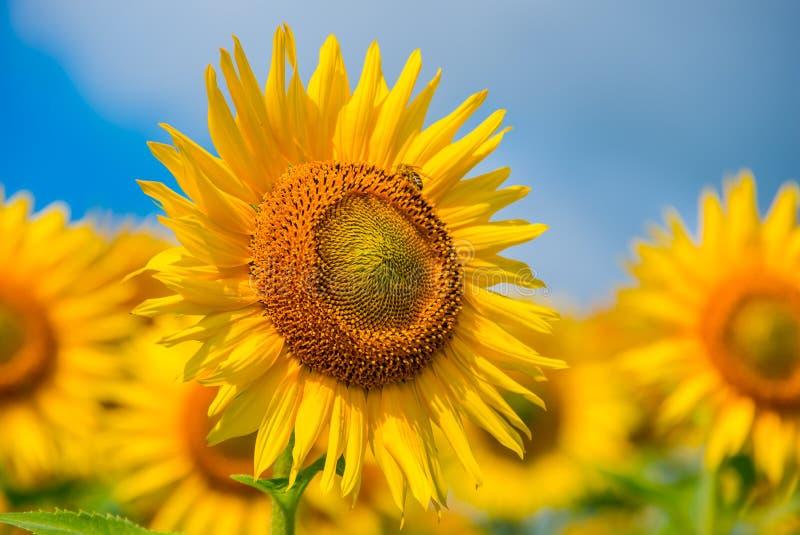Het bloeien de zonnebloemzomer royalty-vrije stock foto