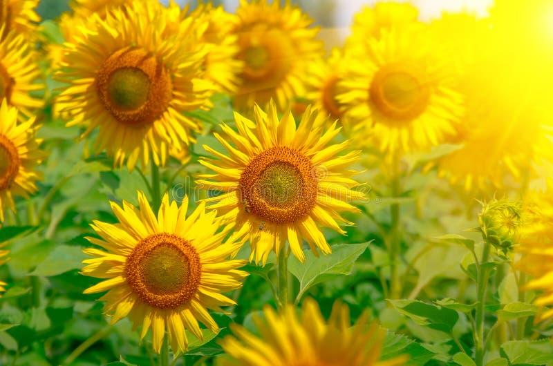 Het bloeien de zonnebloemzomer royalty-vrije stock afbeeldingen
