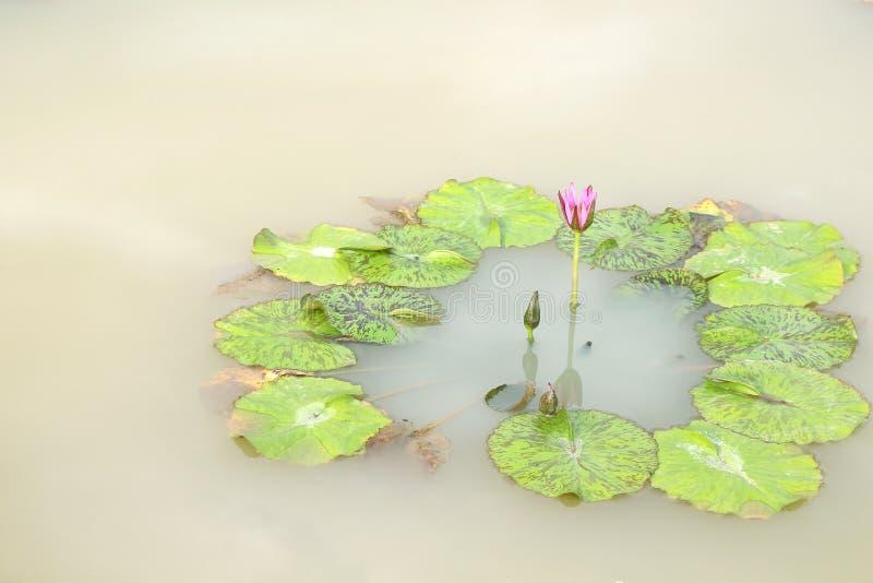 Het bloeien en de knop van de Nymphaealotusbloem met bladpatroon rond in vijver op achtergrond stock fotografie